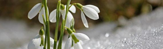 Galanthus – Snowdrops