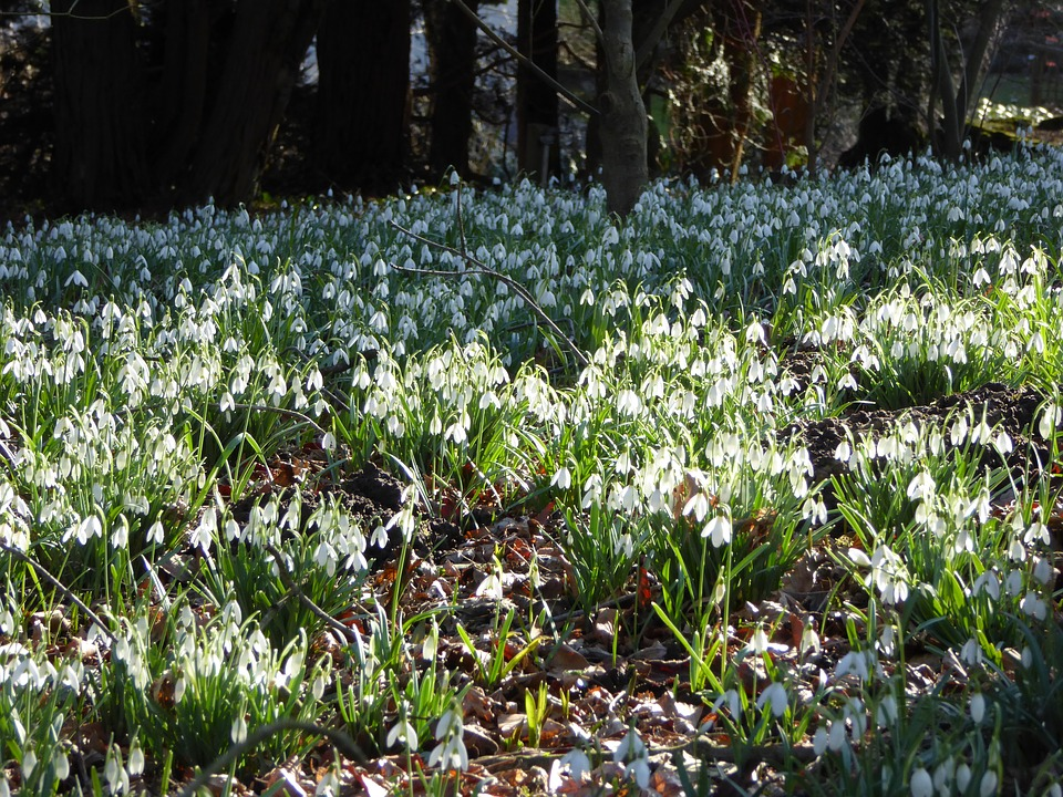 Snowdrop Drift