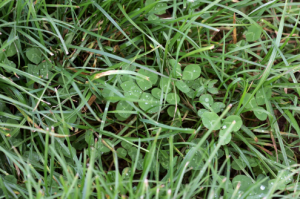 clover ley grass seed